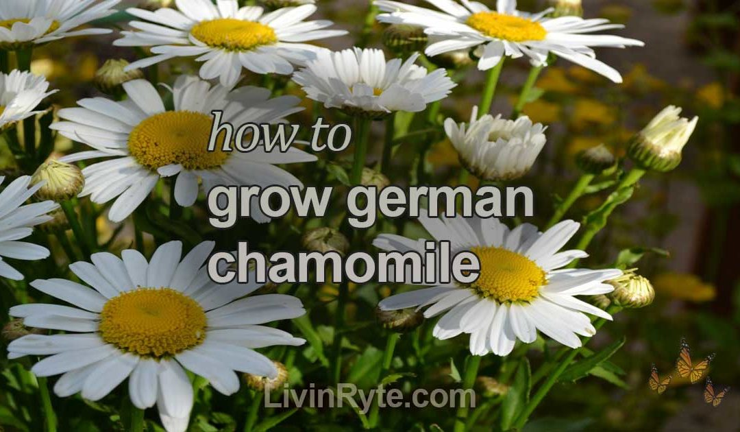 Growing German Chamomile