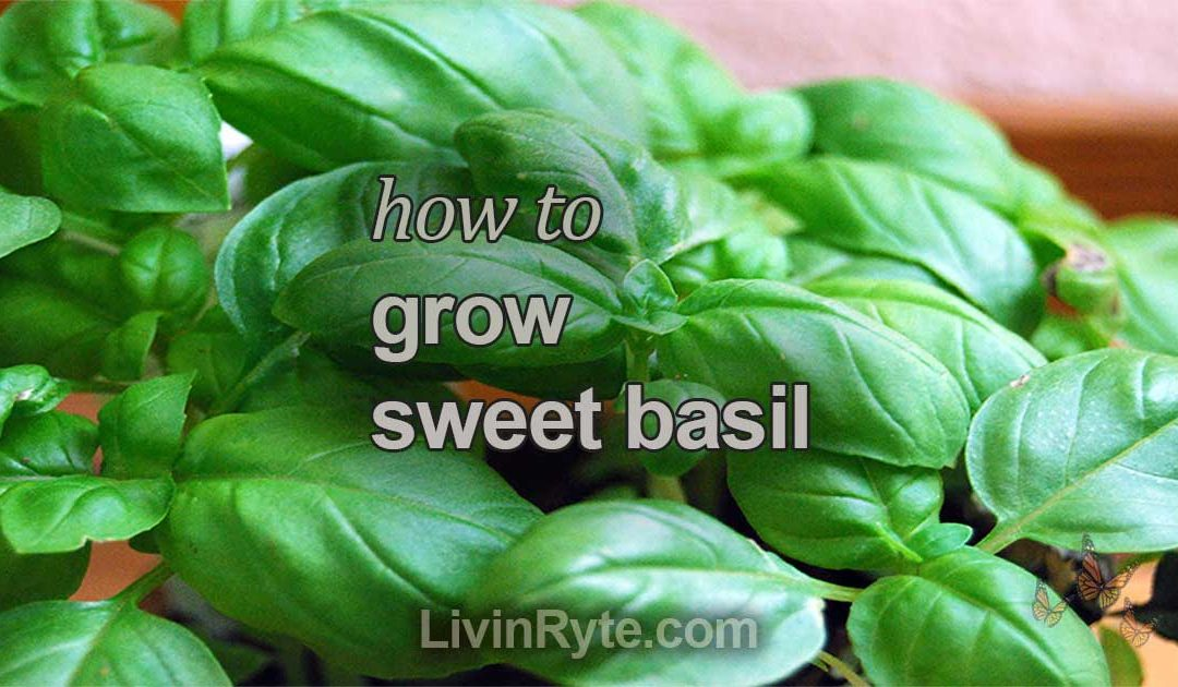 How To Grow Sweet Basil