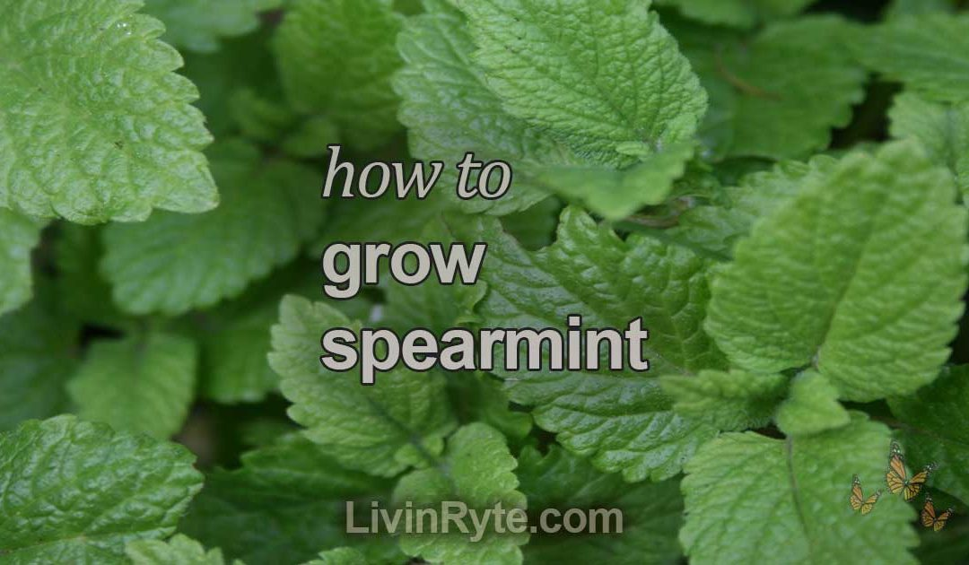 How To Grow Spearmint