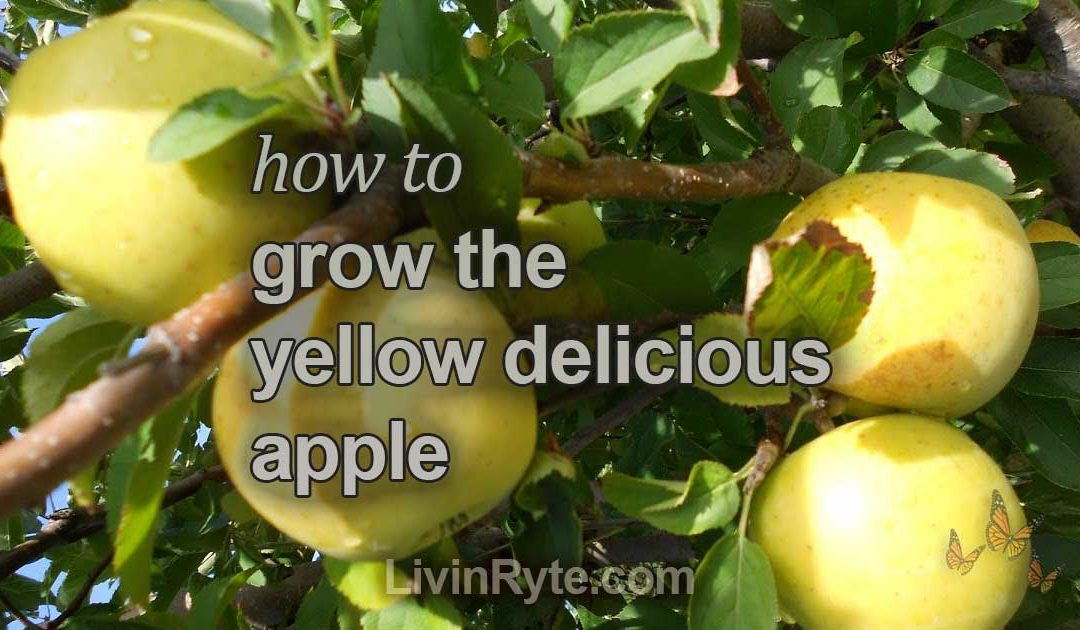 How To Grow The Yellow Delicious Apple